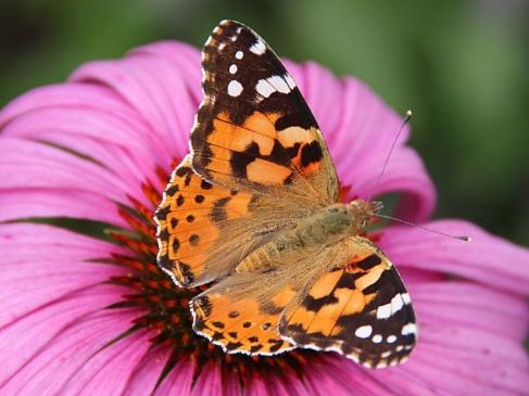 PaintedLadyButterfly-PurpleConeflower.Wikipedia
