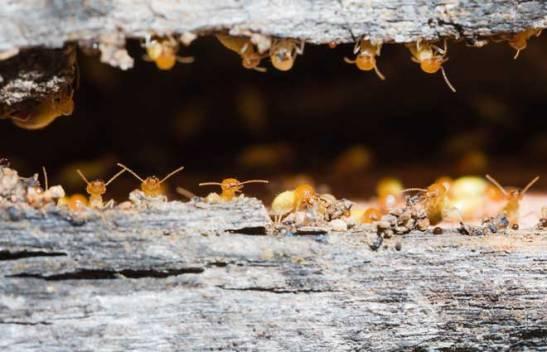 Termites-underground-Pestkilled.com-photo