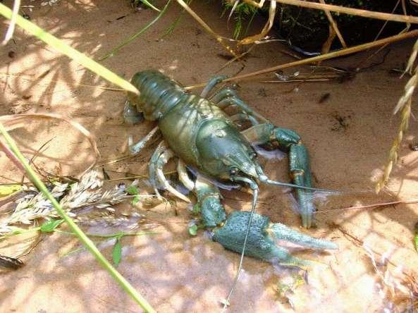 Crayfish-bluish.stream-habitat