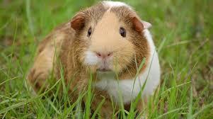 GuineaPig-in-grass.Petsolino