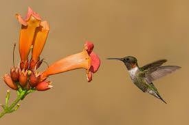 hummingbird-trumpet-vine