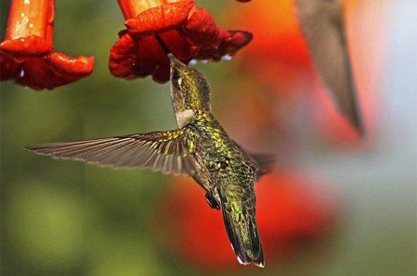 Hummingbird-TrumpetVine.Birds-n-Bloom