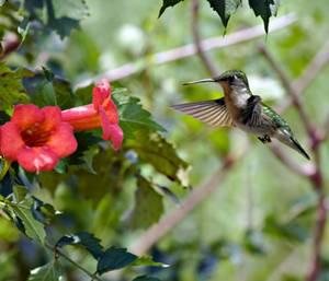 Hummingbird-TrumpetVine.slow-motion