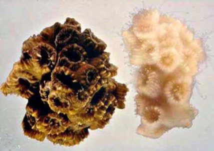 Coral-L-with-Zooanthellae-vs-R-bleached