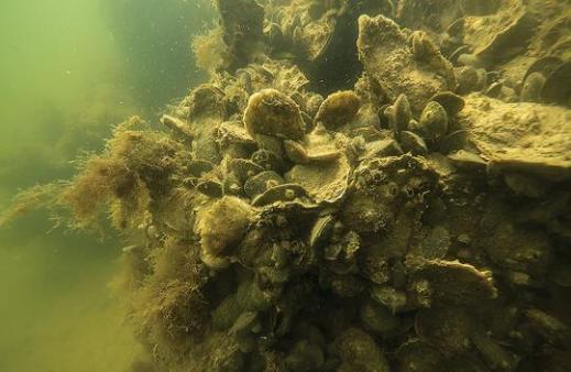oyster-reef.murky-water